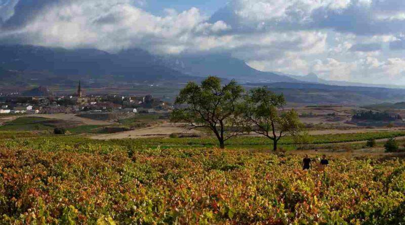 Vendimia en la DO la Rioja. Al fondo Briones